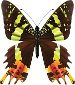 The Madagascar Sunset Moth - Vector Illustration