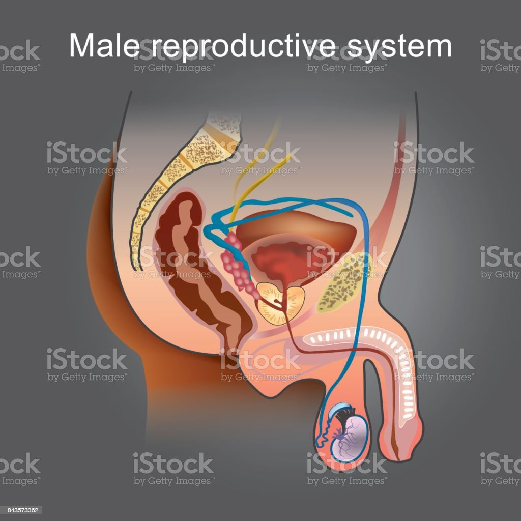 The Male Reproductive System Consists Of A Number Of Sex Organs That
