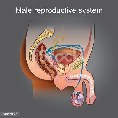 Die Männlichen Reproduktiven System Besteht Aus Einer Anzahl Der ...