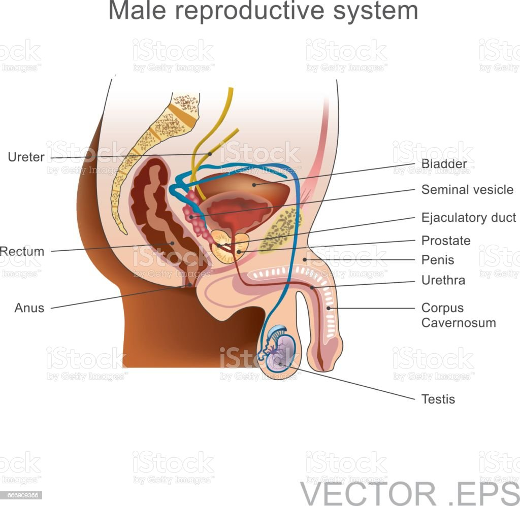 The male reproductive system. vector art illustration