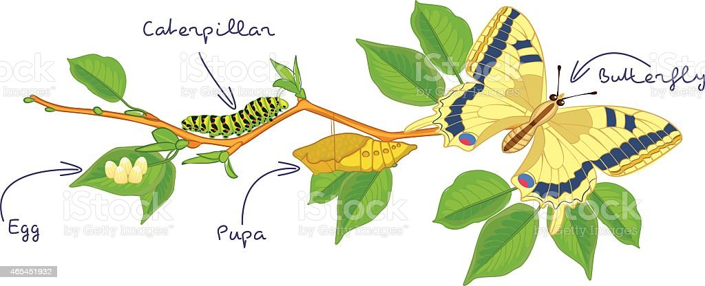 The metamorphosis of the butterfly. Life cycle vector art illustration