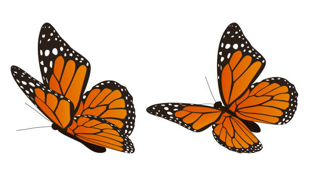 The monarch butterfly vector illustration The monarch butterfly vector illustration butterfly stock illustrations