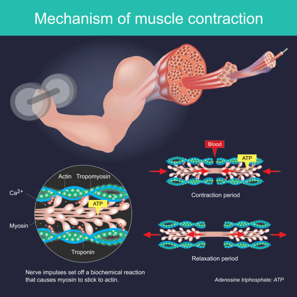 The muscle contraction as a result of Nerve impulses set off a biochemical reaction that causes myosin to stick to actin. Human body infographic. vector art illustration