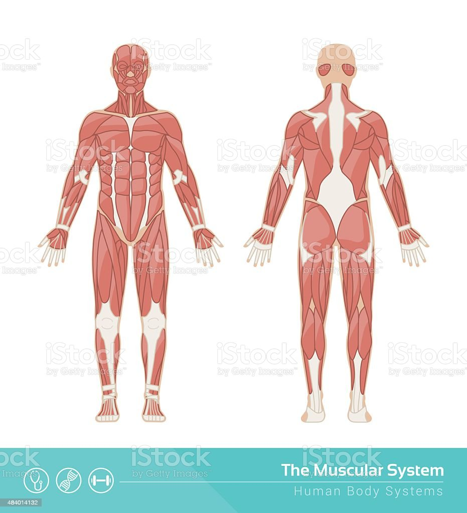 The muscular system vector art illustration