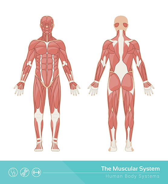 The muscular system The human muscular system vector illustration, front and rear view chest torso stock illustrations