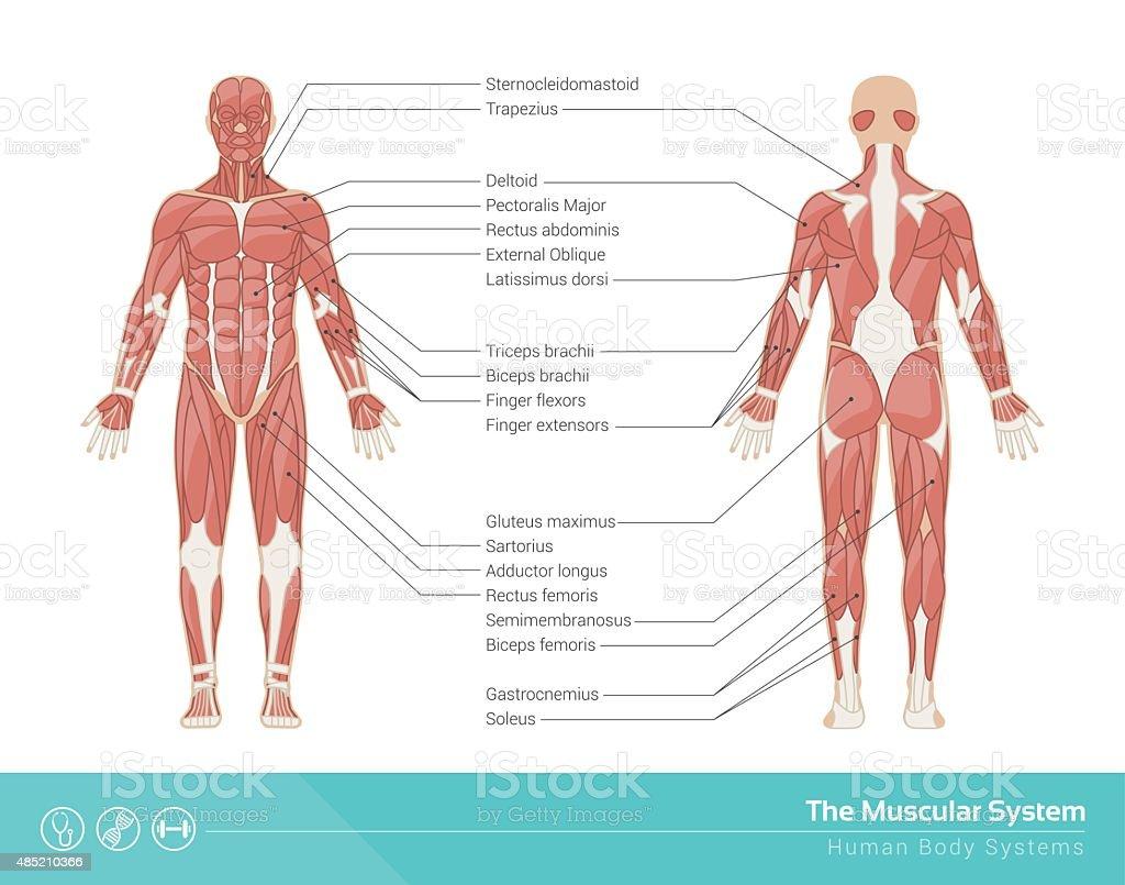 Der Muskelsystem Stock Vektor Art und mehr Bilder von Aktivitäten ...
