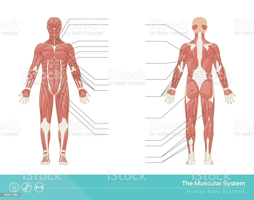 The Muscular System Stock Vector Art More Images Of Abdominal