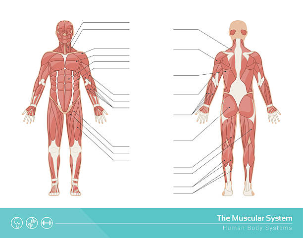 The muscular system The human muscular system vector illustration, front and rear view human muscle stock illustrations