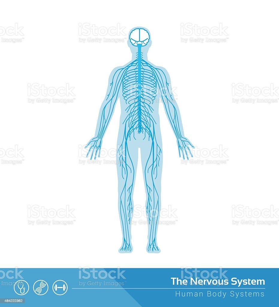 Das Nervensystem Stock Vektor Art und mehr Bilder von Anatomie ...