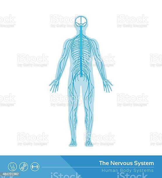 The nervous system vector id484222362?b=1&k=6&m=484222362&s=612x612&h=8gc25tvhbc  7wqadqjbvx2o2z95gpflcvvvpq hk9e=