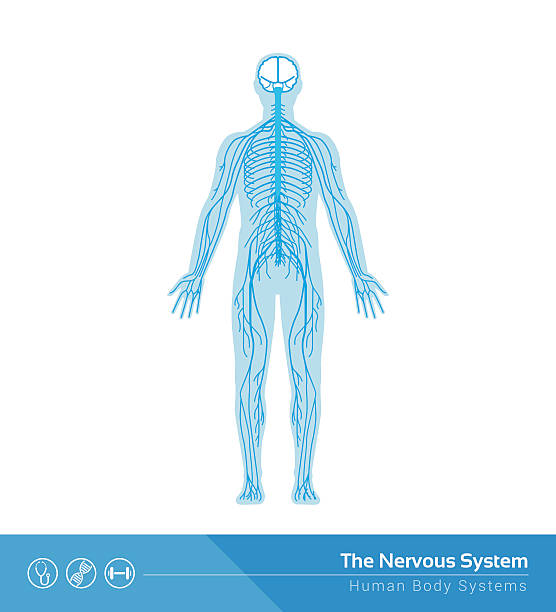 The nervous system The human nervous system vector medical illustration neurology stock illustrations