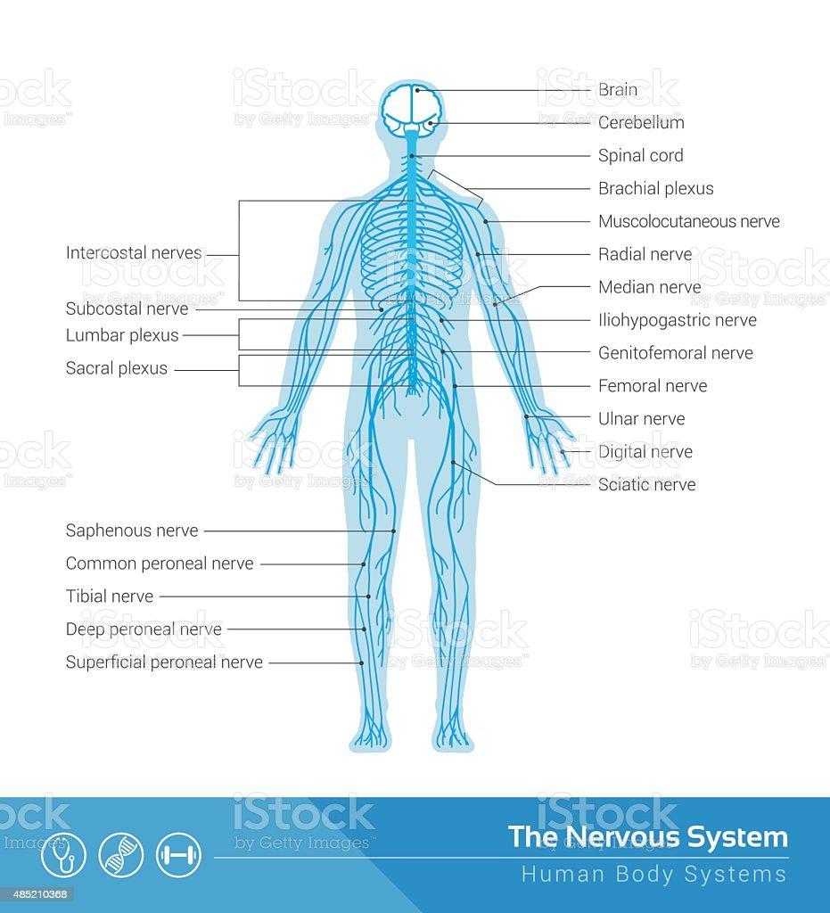Das Nervensystem Stock Vektor Art und mehr Bilder von Aktivitäten ...