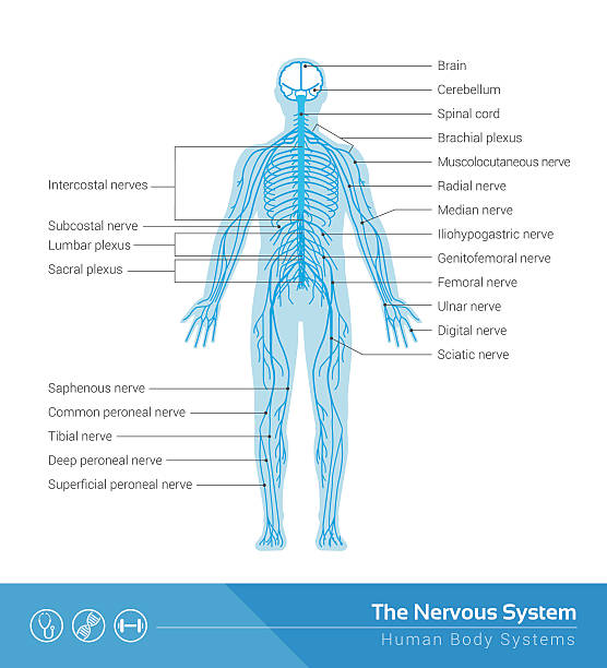 how to remember peripheral nervous system