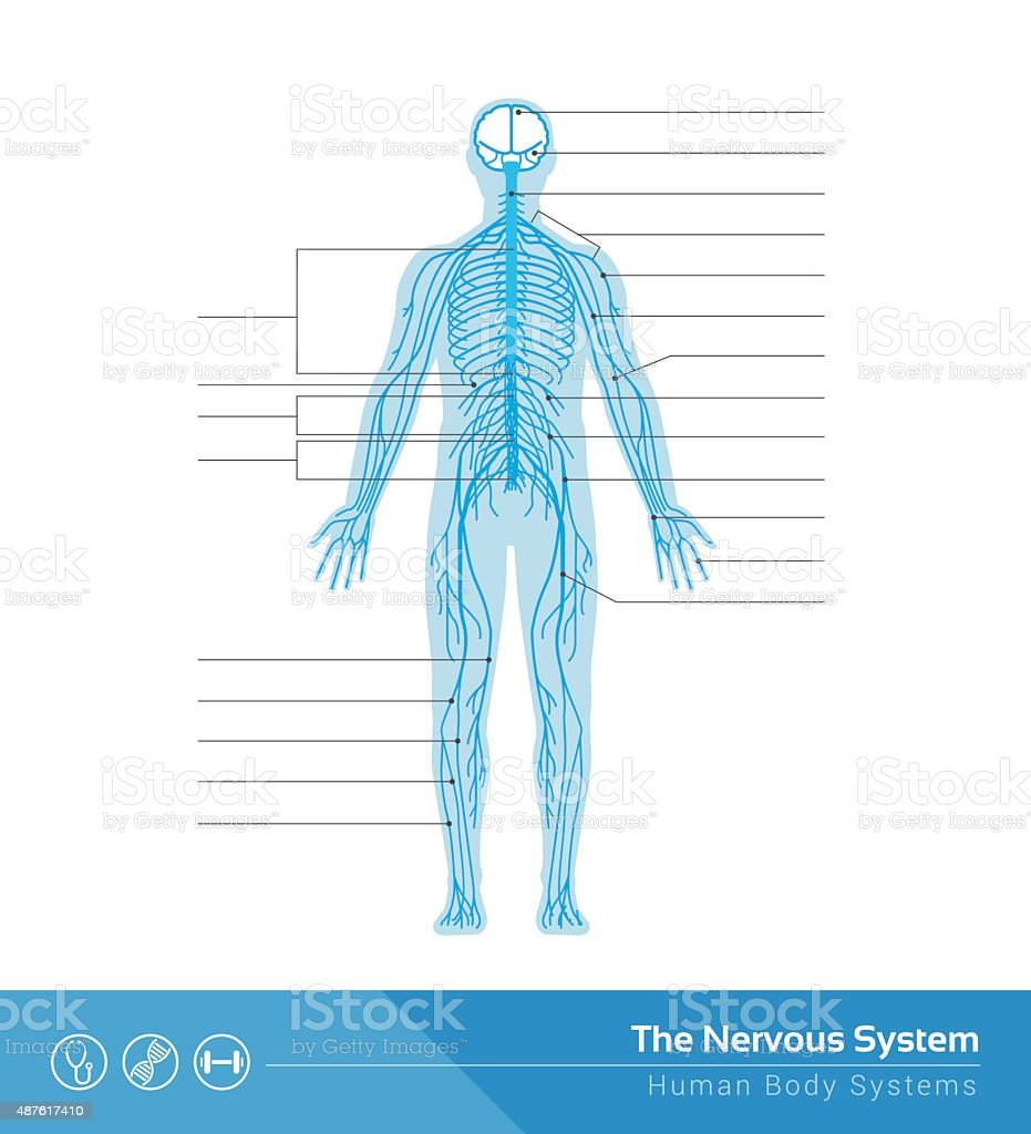 The Nervous System Stock Vector Art & More Images of Activity ...