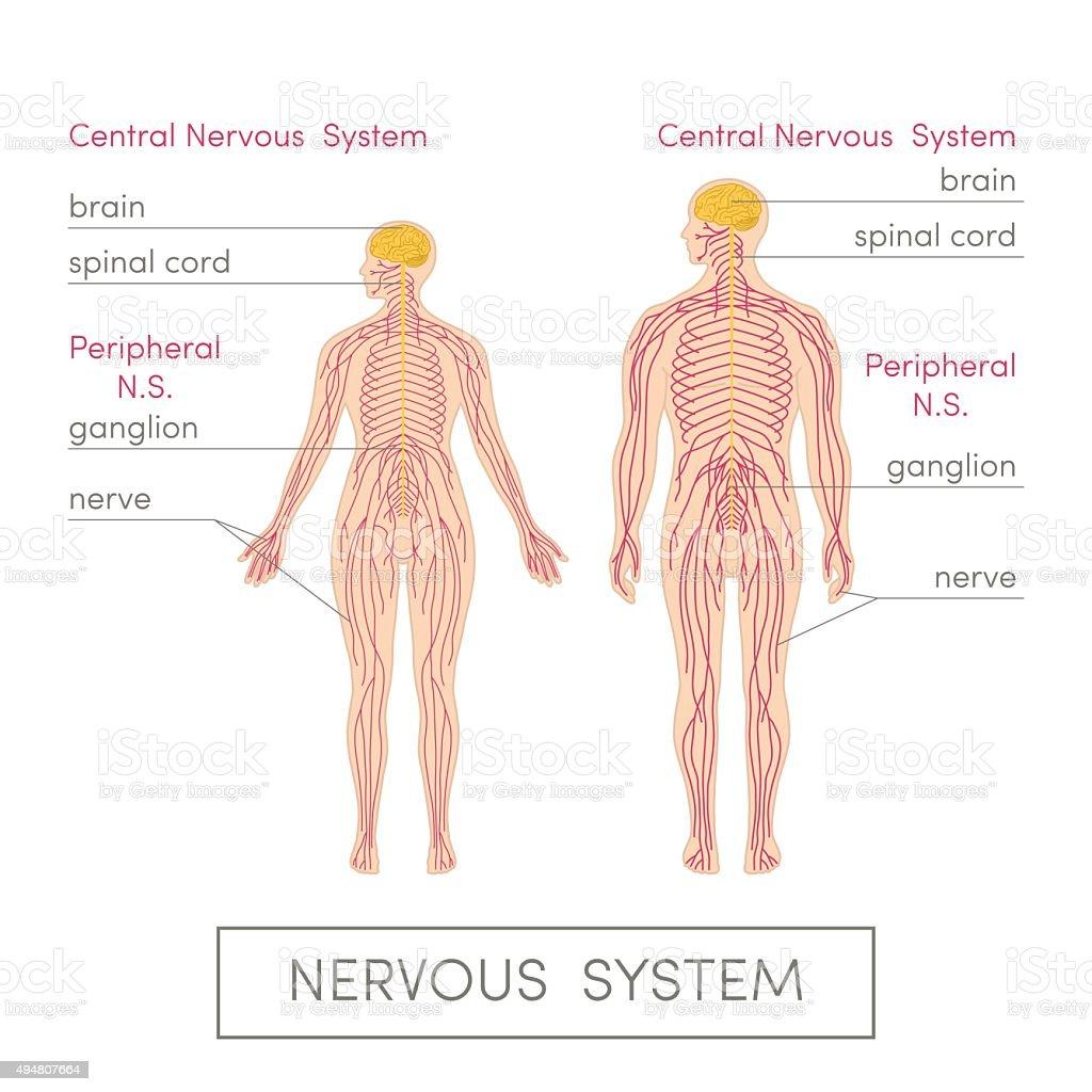 The nervous system vector art illustration