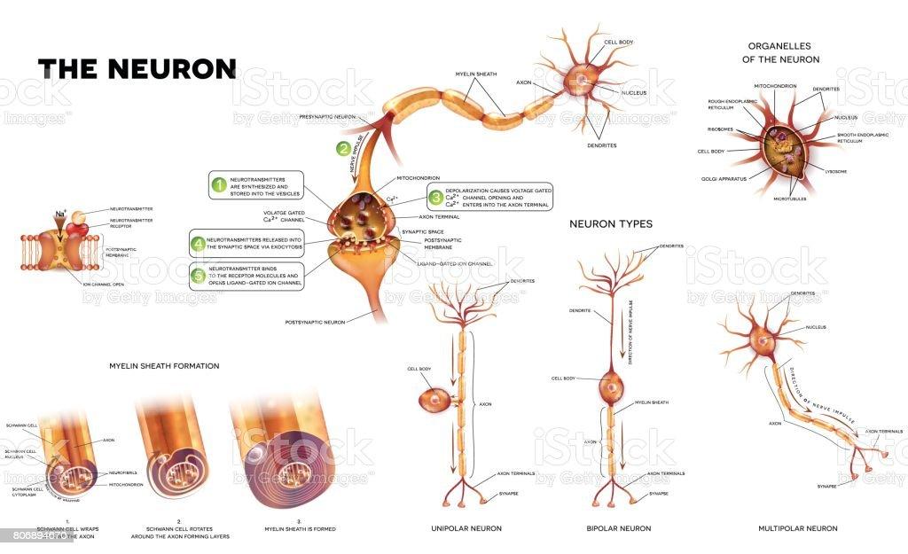 The neuron Neuron detailed anatomy illustrations bundle set. Neuron types, myelin sheath formation, organelles of the neuron body and synapse. Anatomy stock vector