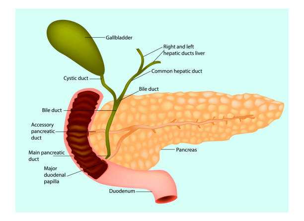 The pancreas with surrounding vessels and organs (gallbladder and duodenum) The pancreas with surrounding vessels and organs (gallbladder and duodenum) bile stock illustrations