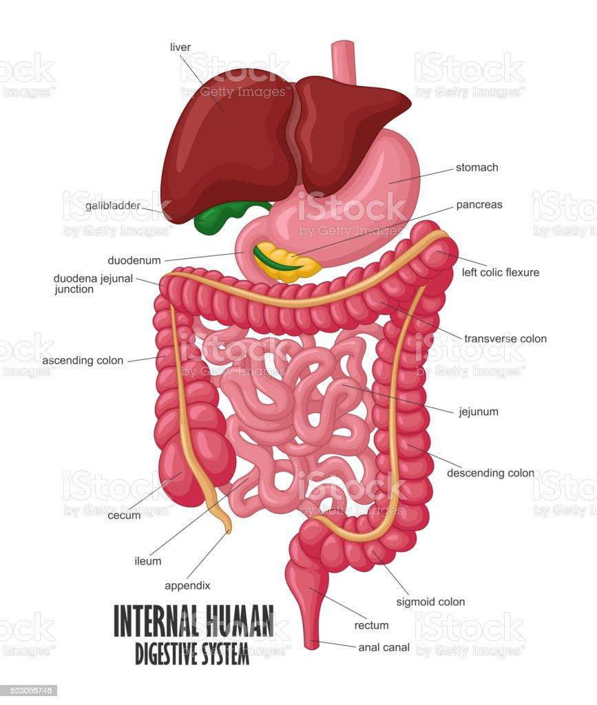 Ilustração de A Parte Interna Ilustração Do Sistema Digestivo Humano ...