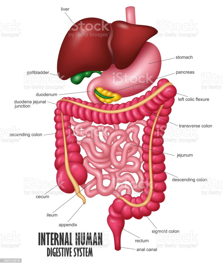 The Part Of Internal Human Digestive System Illustration vector art illustration