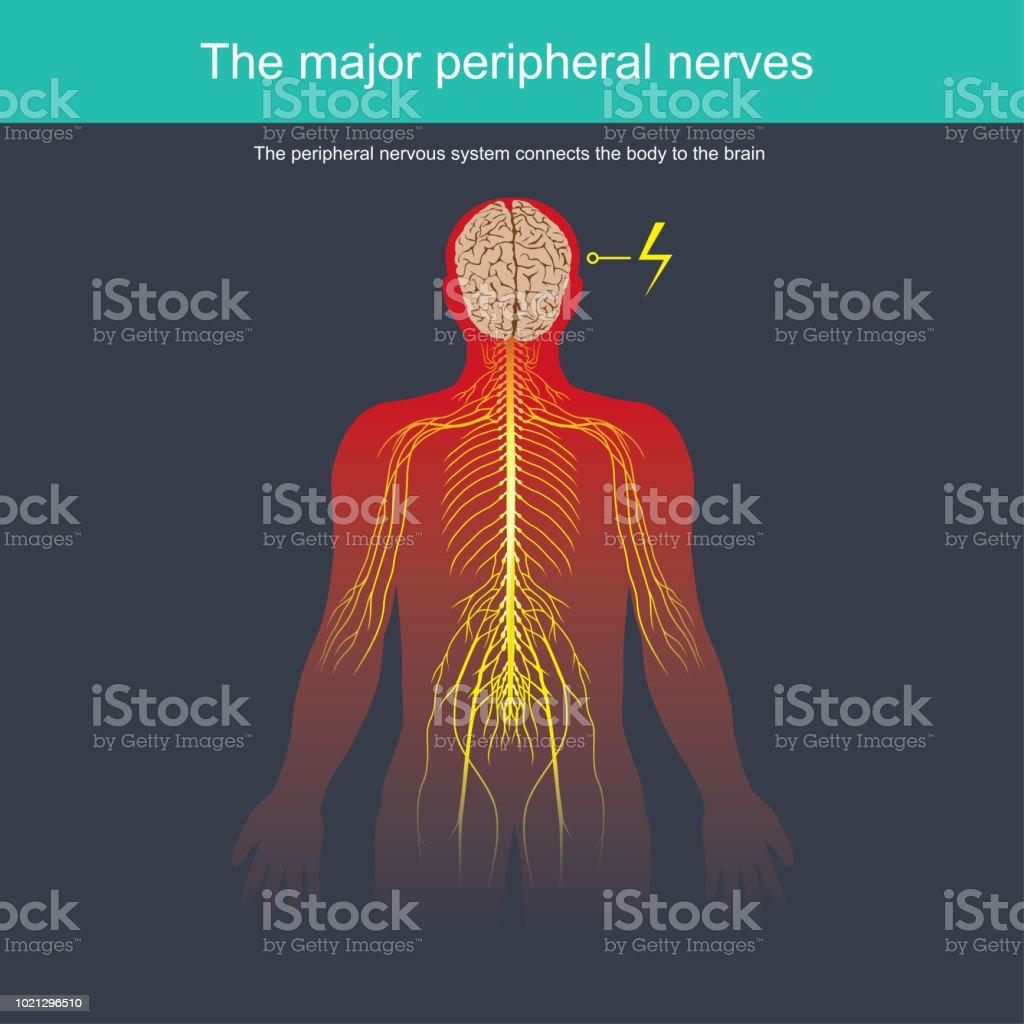 Das Periphere Nervensystem Verbindet Den Körper An Das Gehirn Stock ...