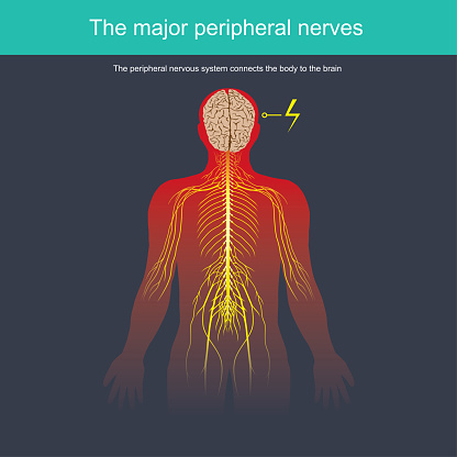 The Peripheral Nervous System Connects The Body To The ...