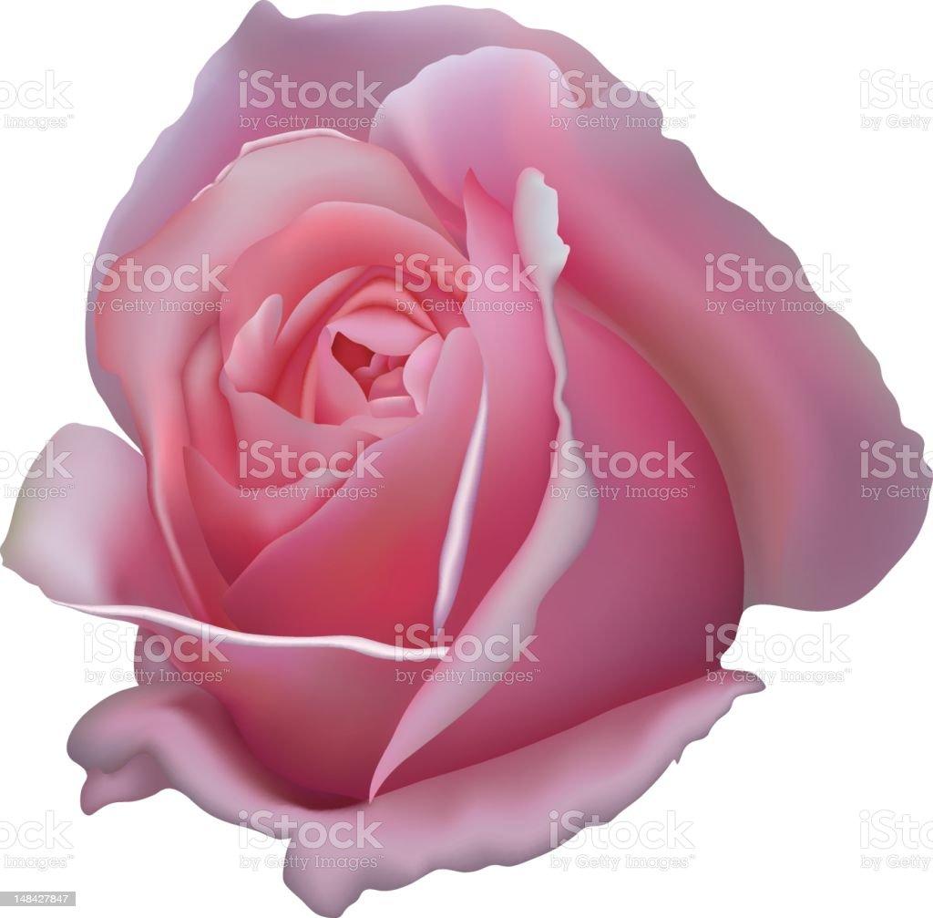 the pink rose vector art illustration