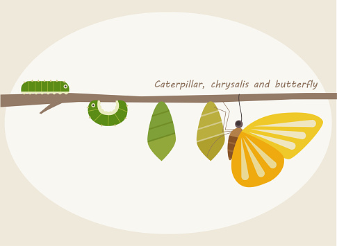 The process by which a caterpillar becomes a butterfly.