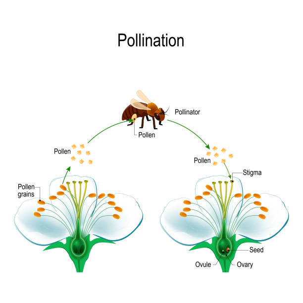 illustrazioni stock, clip art, cartoni animati e icone di tendenza di the process of cross-pollination with bee - impollinazione