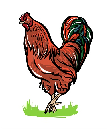 The red rooster is standing. Illustration sketch in color. Vector.