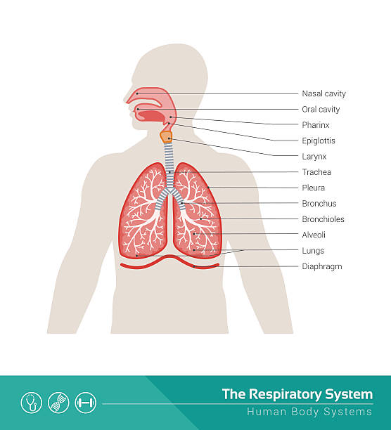 The respiratory system The human respiratory system medical illustration with internal organs respiratory system stock illustrations