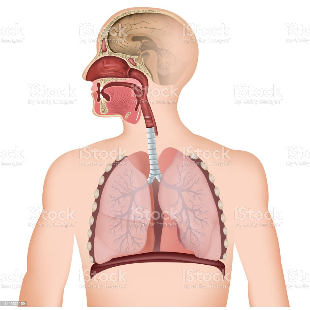 The Respiratory Tract Medical Vector Illustration On White Background Stock Illustration Download Image Now Istock