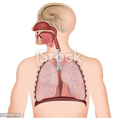 The respiratory tract medical vector illustration on white background eps 10