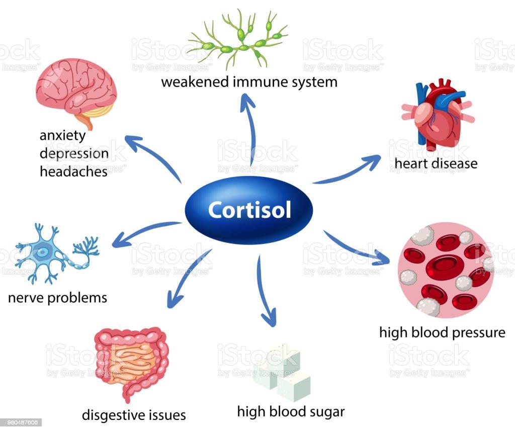 Ilustración de El Papel Del Cortisol En El Diagrama De Cuerpo y más ...