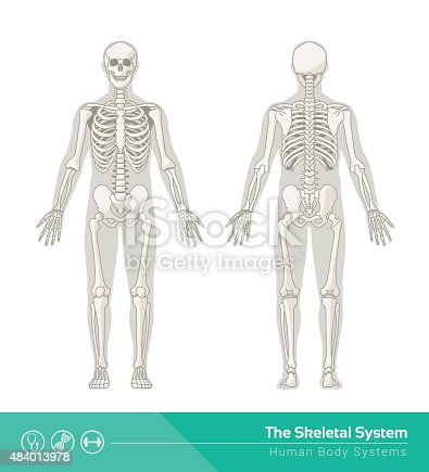 istock The skeletal system 484013978