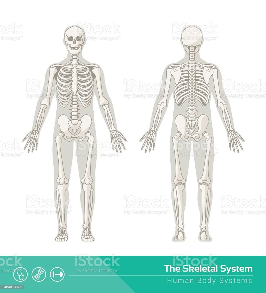 The skeletal system vector art illustration