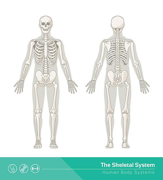bildbanksillustrationer, clip art samt tecknat material och ikoner med the skeletal system - bum