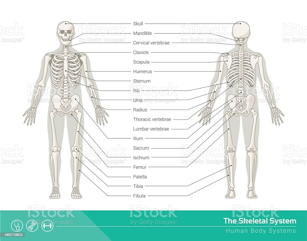 The skeletal system vector art illustration