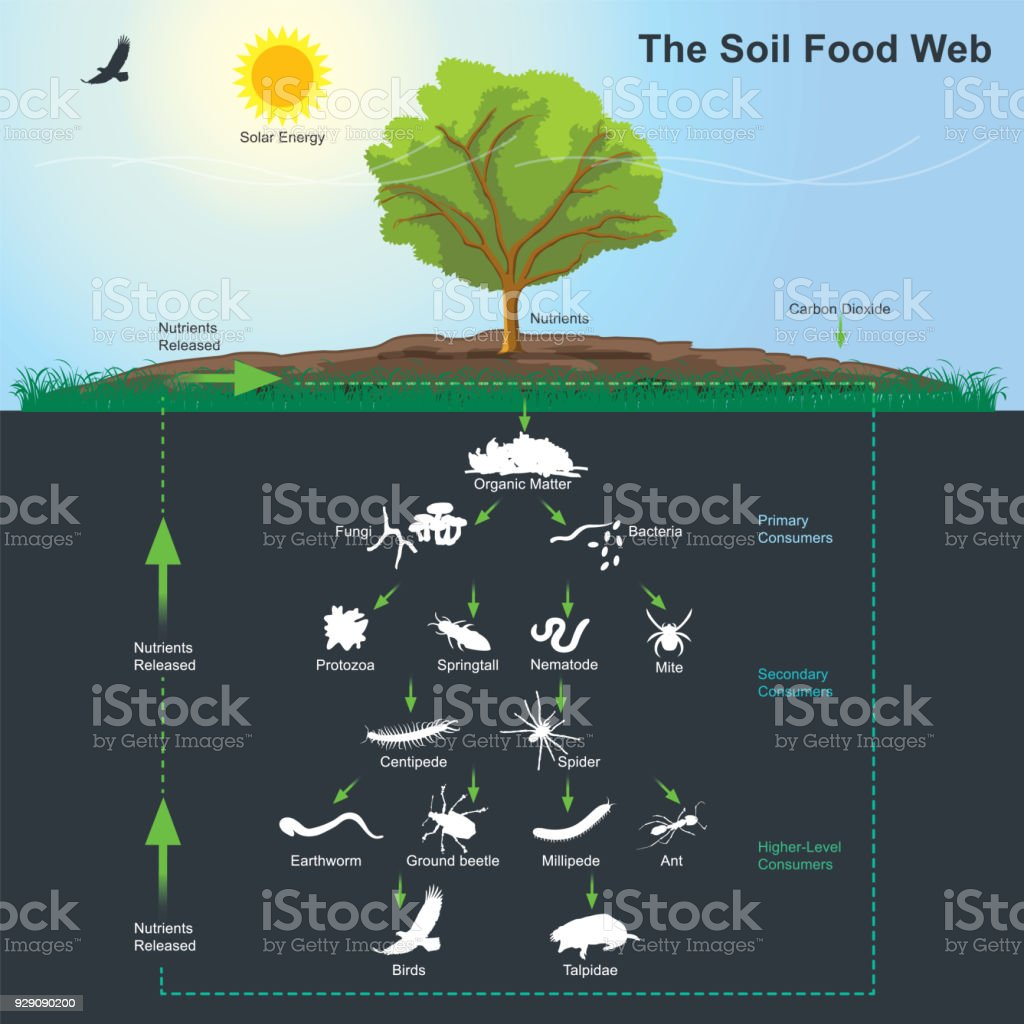 The Soil Food Web diagram. Illustration info graphic. vector art illustration