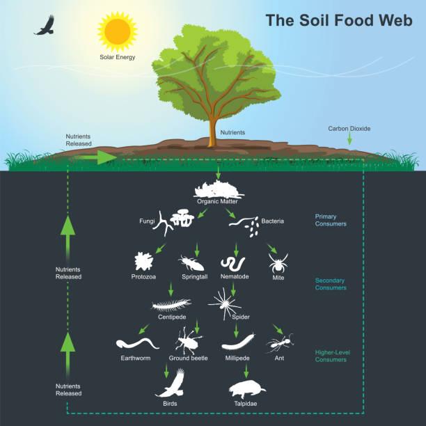 das nahrungsnetz boden-diagramm. illustration-infografik. - einzeller mikroorganismus stock-grafiken, -clipart, -cartoons und -symbole