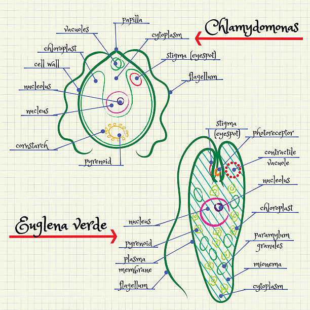 The Structure Of Chlamydomonas And Euglena Stock Vector Art & More ...