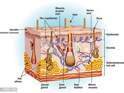 The Structure Of Human Skin Cells Stock Vector Art & More ...