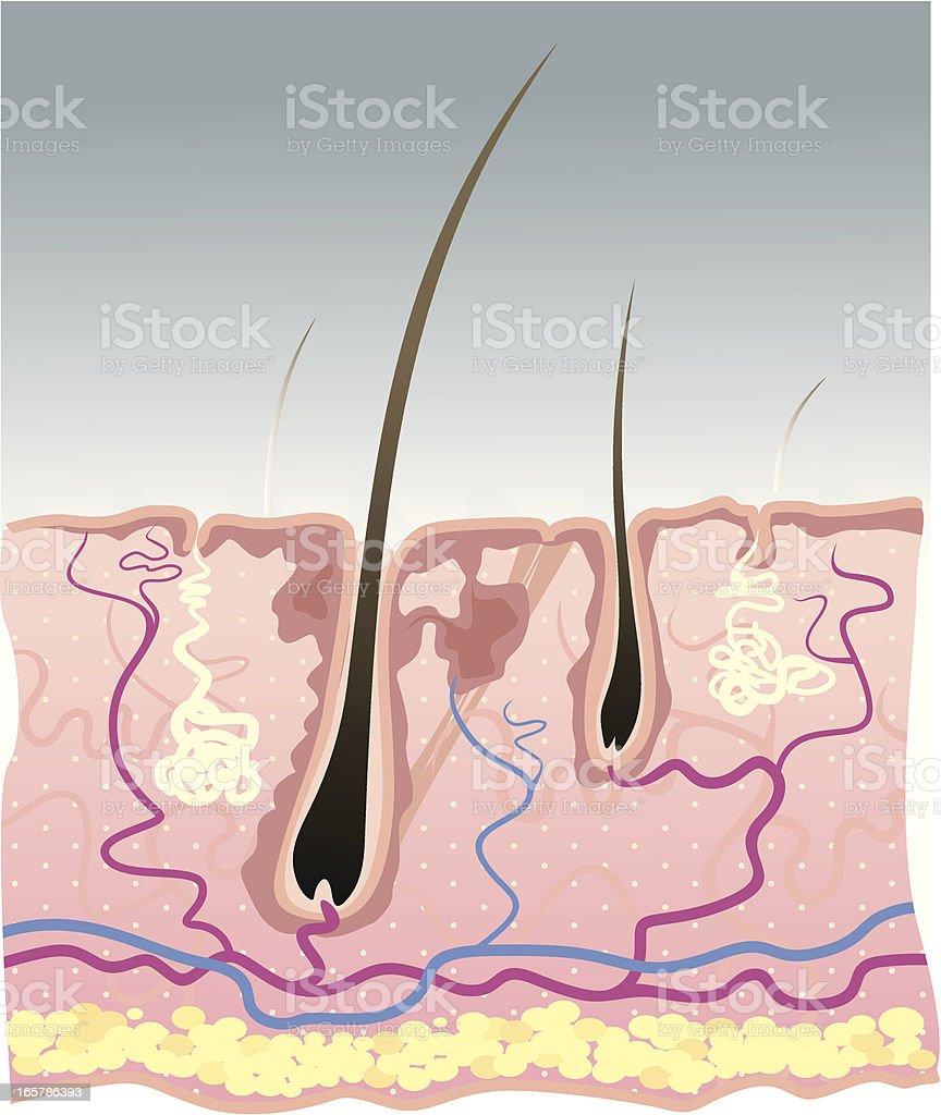 A estrutura de Pele Humana - ilustração de arte em vetor