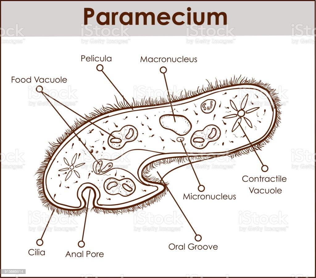 The structure of paramecium saudatum stock vector art more images the structure of paramecium saudatum royalty free the structure of paramecium saudatum stock vector art ccuart Images