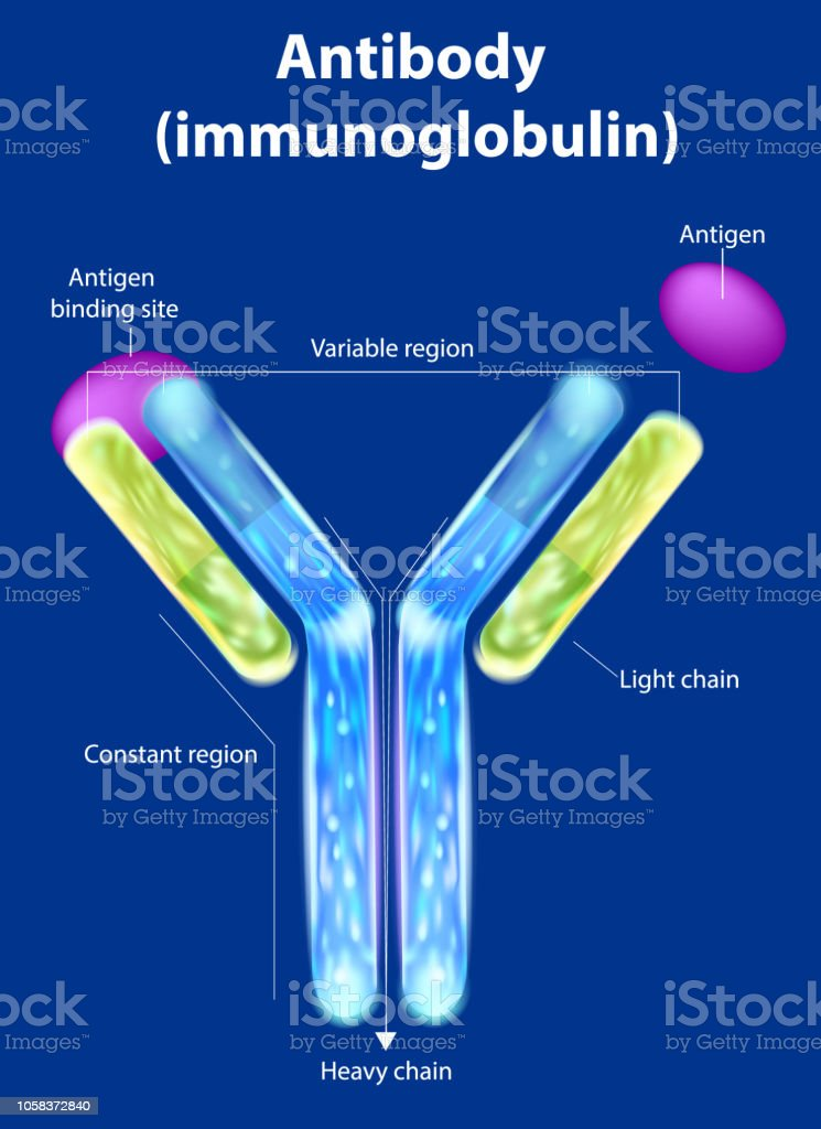The structure of the antibody vector art illustration