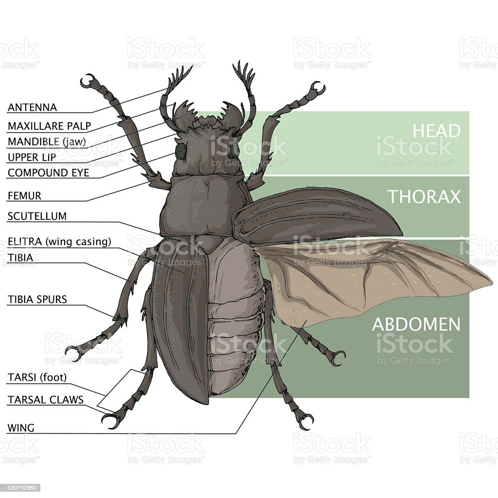 the structure of the beetle vector diagram vector id530752980 the structure of the beetle vector diagram stock vector art beetle diagram at bayanpartner.co