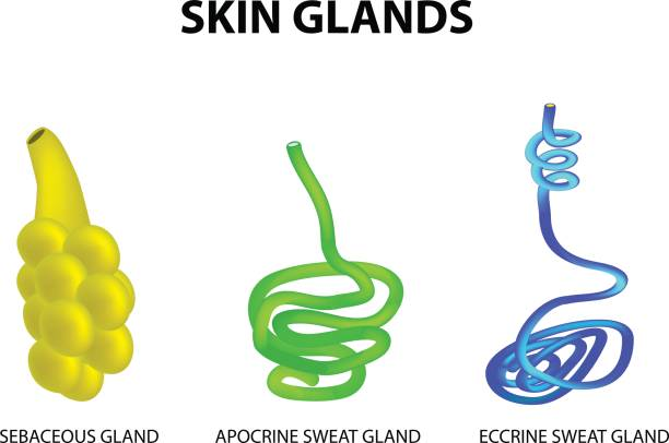 The structure of the glands of the skin. sebaceous, Eccrine sweat, Apocrine sweat. Set. Infographics. Vector illustration The structure of the glands of the skin. sebaceous, Eccrine sweat, Apocrine sweat. Set. Infographics. Vector illustration on isolated background. exocrine gland stock illustrations