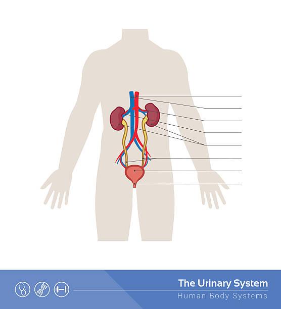 Vectores de Sistema Urinario y Illustraciones Libre de Derechos - iStock
