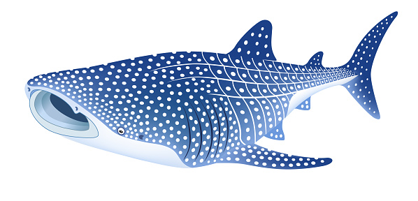The whale shark, isolated on the white background.
