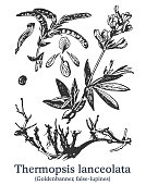 Thermopsis lanceolata. Vector hand drawn plant. Botanical plant illustration. Vintage medicinal plant sketch.