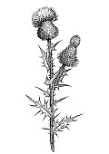 Thistle flower illustration, drawing, engraving, ink, line art, vector